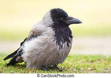 Hooded Crow (Corvus cornix) - Hooded Crow resting on the ...