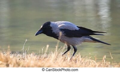 hooded crow croaks standing by the lake, wildlife animals