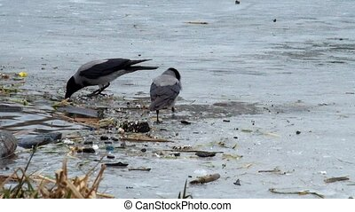 Hooded crow look for food amid rubbish on the ice of a...