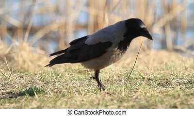 hooded crow looking for something in the green grass,...