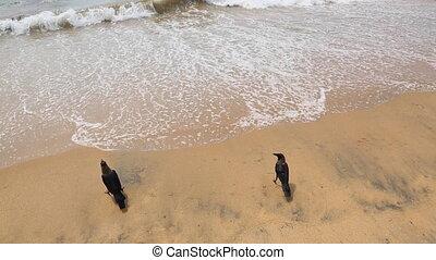 Hooded crow on a beach  - crows on the sea sandy beach