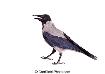 Hooded crow on white background - Hooded crow, Corvus...