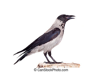 Hooded crow on white background - Hooded crow, Corvus cornix...
