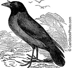 Hooded Crow or Hoodiecrow or Corvus cornix vintage engraving...