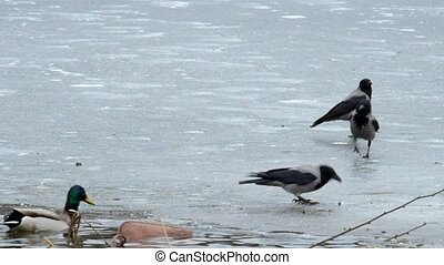 Hooded crow peck bread crumbs on ice (Corvus cornix)