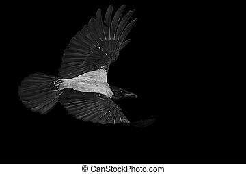 Hooded crow with open wings isolated discolor bird in flight...
