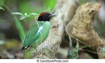 Hooded Pitta (Pitta sordida) in Kaengkrachan National Park,...