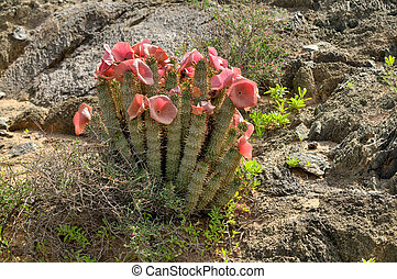 Hoodia in flower - Hoodia gordonii, a medicinal plant, in...