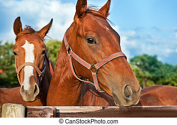 hoofd, closeup, paarde