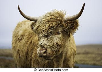 hoofd, hoogland, koe