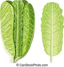 hoofd, lactuca, slaatje, sla, voedingsmiddelen, blad, concept., vrijstaand, sativa, rauwe, groene, sappig, romaine, fris, white.