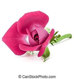hoofd, roos, achtergrond, cutout, roze, vrijstaand, witte bloem