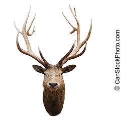 hoofd van, wild, hertje, en, hoorn, in, fiordland nationaal...