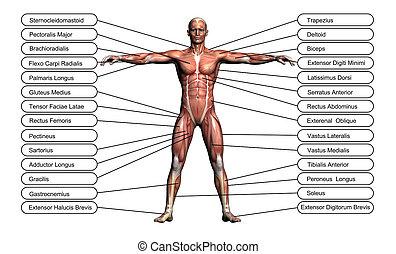 hoog, concept, anatomie, menselijk, conceptueel, resolutie, of, 3d