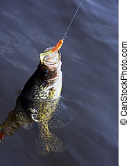 hooked fish - fish hooked by the lip with open mouth in a ...