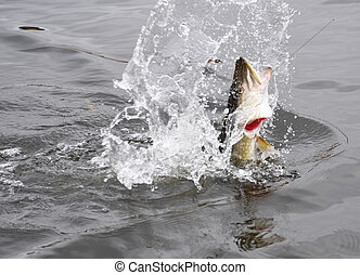Hooked pike fighting and jumping out of the water