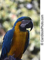 Hooked Sharp Beak on a Blue and Gold Macaw - Beautiful blue ...