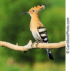 hoopoe as a symbol Religious beliefs