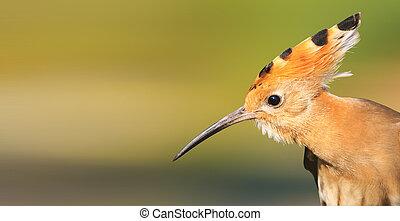 hoopoe bird with a long beak bangs on the head