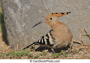Hoopoe feeding on a lawn in Israel. An adult bird is looking for insects.