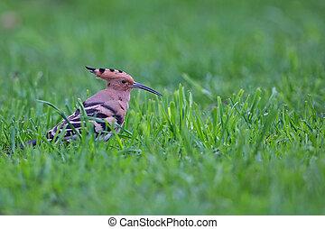 Hoopoe in the wild