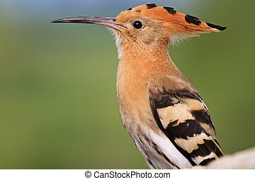 hoopoe long beak portrait