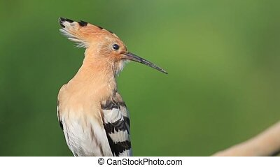 hoopoe on a green background cleans feathers
