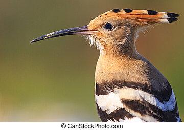 hoopoe portrait of wild birds,wildlife Creative photos