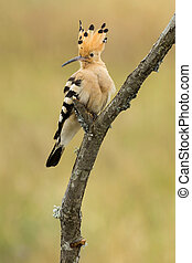 Hoopoe, ( Upupa epops ) , perched on his perch