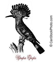 Hoopoe,  wildlife vintage engraving