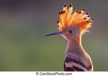 hoopoe with a tuft in the last rays of the setting sun