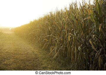 hoosier, campo de maíz