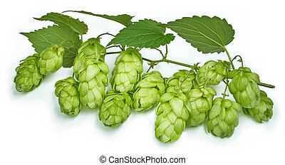Hop - Blossoming hop with leaves on a white background.
