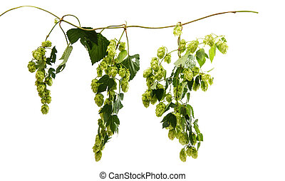 Hop branch with cones on a white background
