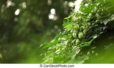 Hop bush in the garden on a summer day,Slow motion. 1080p...