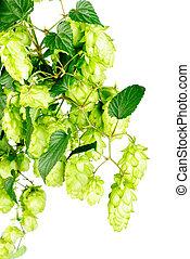 hop  close-up isolated on  white   background