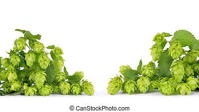 Hop cones (Humulus Lupulus) isolated on white background.