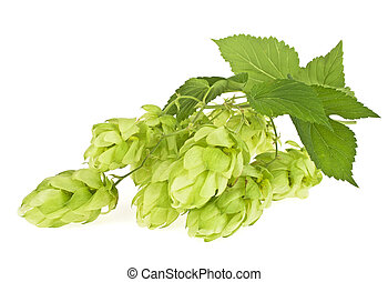 Hop cones isolated on a white background