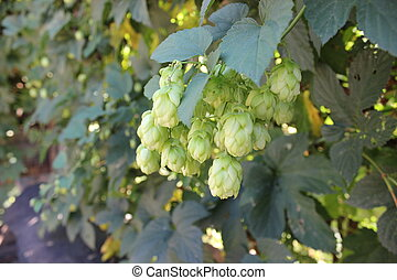 Hop cones on a bush