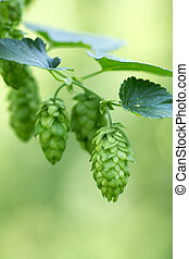 Hop cones on the hop plantation