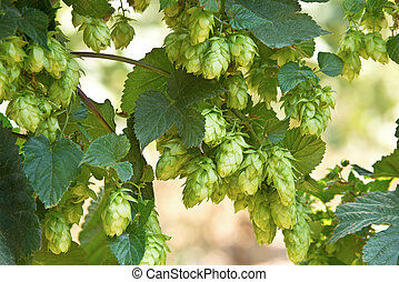 hop cones, raw material for beer production - detail of hop...