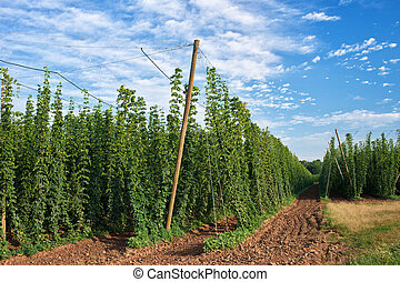 Hop Field before Harvest in Czech Republic.