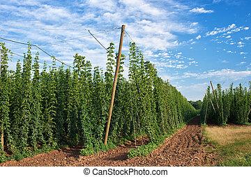 Hop Field before Harvest in Czech Republic.