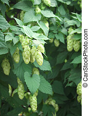 Hop - Green leaves and fruits of hop