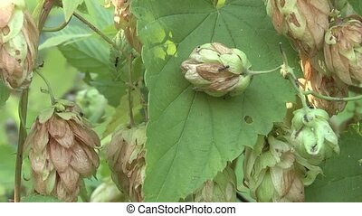 Hop - hops derivative of beer.