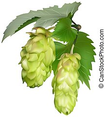 Hop (Humulus lupulus) - colored illustration