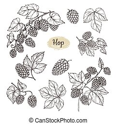 Hop plant branch with leaves and lump of hops in engraving style. Beer pub rural vector elements