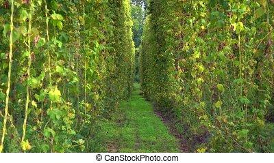 Hop plantation. Harvest ready to harvest. 4k video