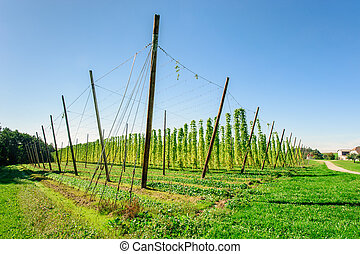 Hop plantation in Upper Austria