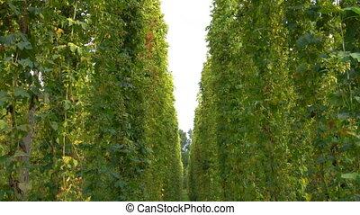 Hop plantation ready to harvest. 4k video